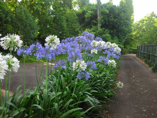 Image result for agapanthus