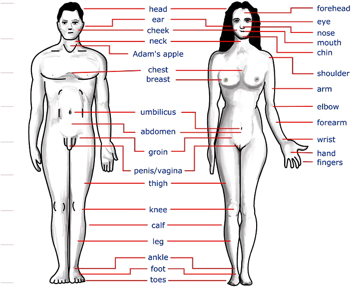 the body and its parts | arnold zwicky's blog, Human body