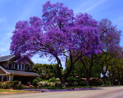 how to draw a pretty jacaranda tree